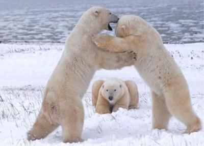 белые медведи борются