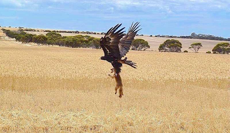 Орел несет лису