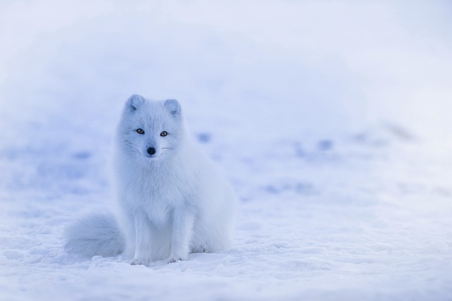Песец зимой